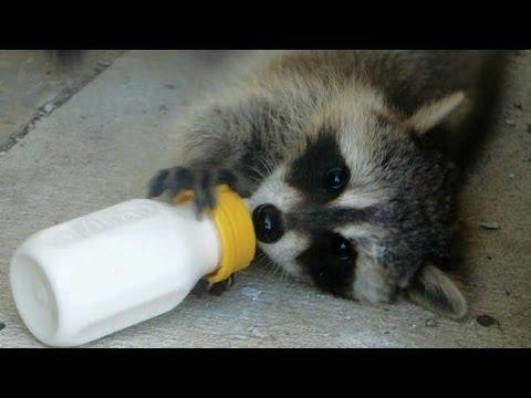 Cute Baby Raccoon drink milk   Top Funny Pets Video