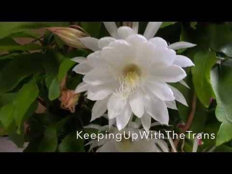 Epiphyllum/Quynh hoa