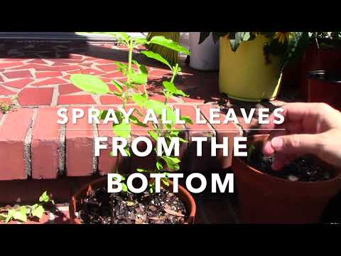 How to make DIY 100% natural bugs spray to keep aphids off plants