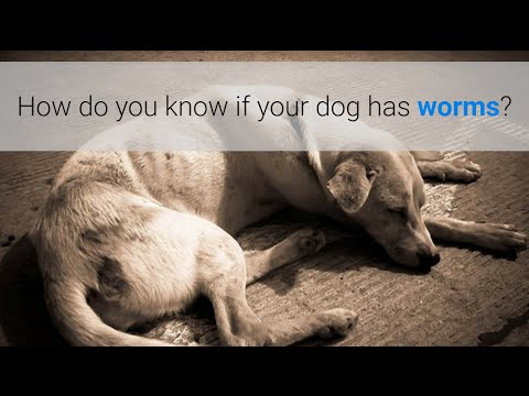 How do you know if your dog has worms? 5 symptoms