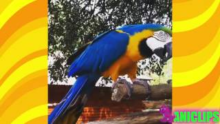 Laughing Parrot Hahahahaha......