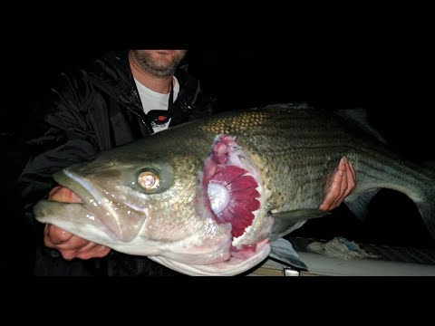 East River Monsters? Hunting For The Legendary ZOMBIE FISH (Striped Bass) Of New York City