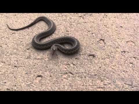 Garter Snake Catch