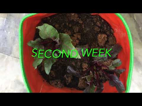 Beetroot Leaves | How to grow beetroot leaves from cuts | Beet leaves