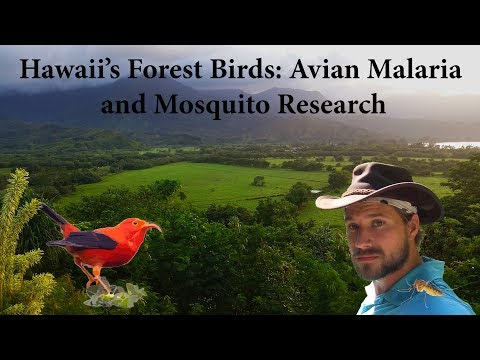 Hawaii's Forest Birds: Avian Malaria and Mosquito Research (Documentary)