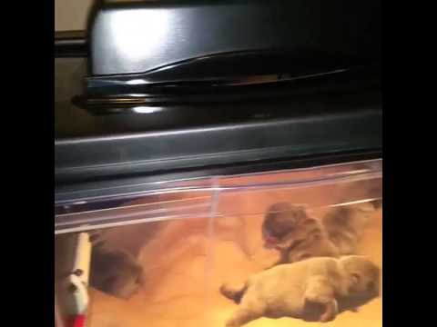 DynamoBullies incubator with pups