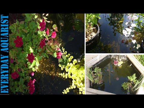 3 Tips to Crystal Clear Pond Water | How to Kill Green Algae