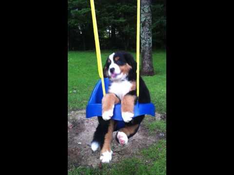 Bernese mountain dog puppy in swing