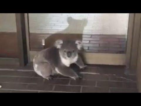 Koala casually walks into accounting office