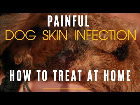 How To Properly Treat Dog Hot Spot At Home