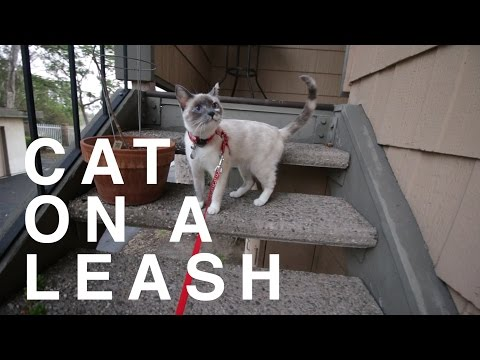 Cat on a Leash for First Time Outside