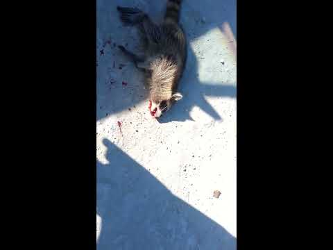 Man kills raccoon .
