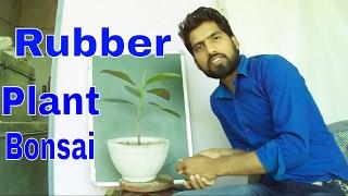 रबड़ प्लांट से बोन्साई शुरू करे / Start a Bonsai From Rubber Plant /Mammal Bonsai