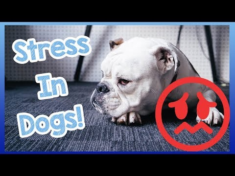 How to Deal with Stress in Dogs! Signs and Symptoms of Stress and How to Treat Stress in Dogs!