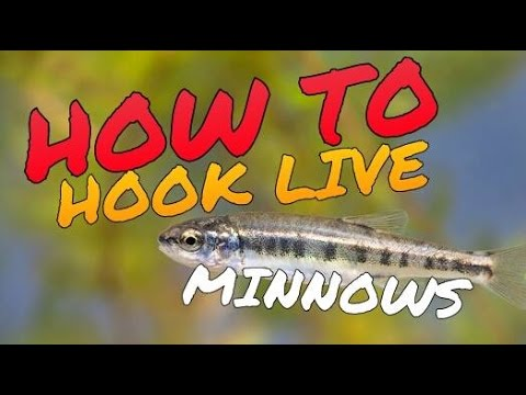 How To Hook Live Bait Minnows Better - QUICK TIP to Catch More Fish