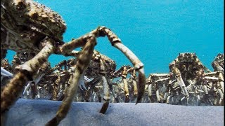 Army Of Spider Crabs Shed Their Shells | Blue Planet II