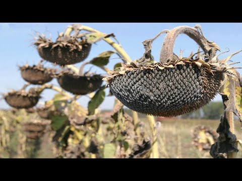 Sunflower Harvesting Machine |How to harvest and processing sunflower seeds | How it works Noal Farm