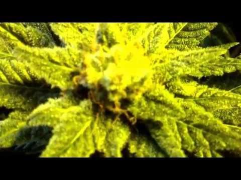 BlackDog LED/HPS grow Day 49