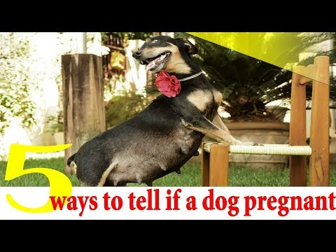5 Ways to Tell if a Dog Is Pregnant ! dog pregnancy symptoms week by week