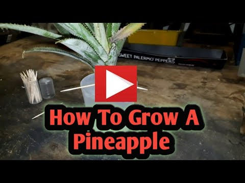 pineapple starting process