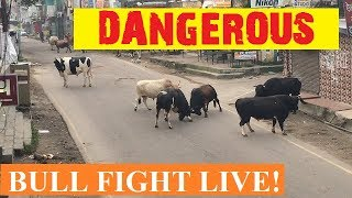 Download DANGEROUS BULL FIGHT LIVE... ON INDIAN HIGHWAY. MUST WATCH THIS VIDEO