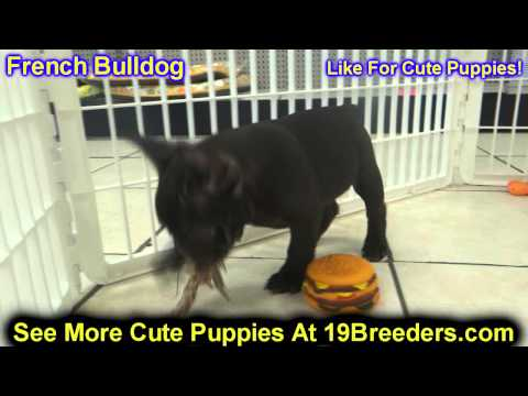 French Bulldog, Frenchie, Puppies, Dogs, For Sale, In Newark, New Jersey, NJ, 19Breeders, Paterson