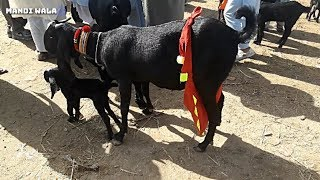 Goat market in pakistan HD Mp4 Download Videos - MobVidz