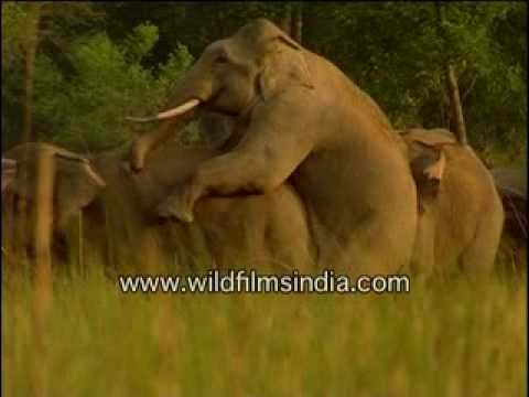 Xxx Mp4 Elephants Mating In The Wild 3gp Sex