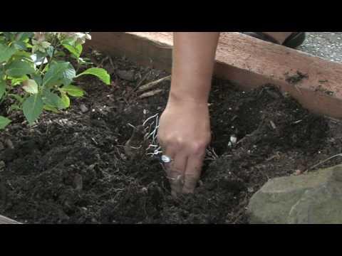 Flower & Plant Garden Care : Transplant Tulip Bulbs