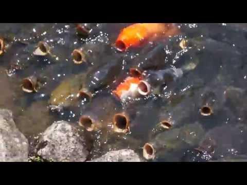 Koi pond in Nara Japan, Feeding the fish