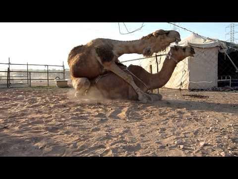 Xxx Mp4 Camels Mating 3gp Sex