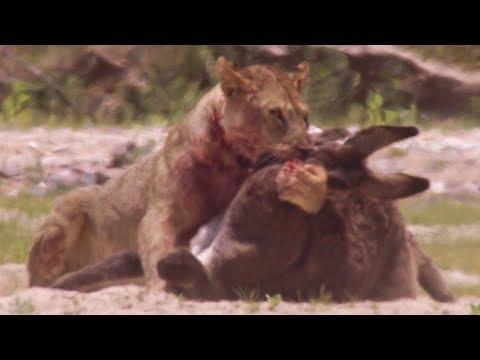 Young Lions kill Donkeys | BBC Earth