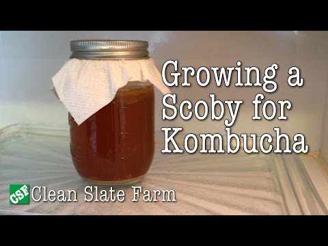 How to grow a Scoby for Kombucha