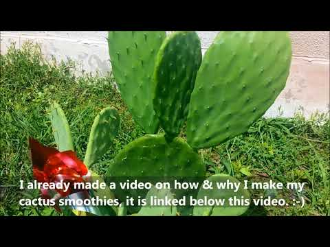 GROW YOUR OWN CACTUS FROM A STORE BOUGHT PIECE! CACTUS UPDATE! NOPALES PRICKLY PAIR CACTUS