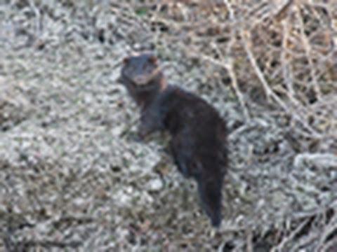 Wild American Mink
