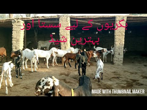 Goat shelter || Goat farming in Pakistan || simple aur sasta shed design ( اردو )