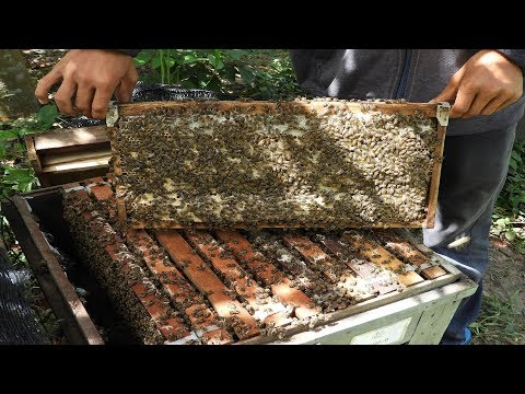 Busy day of honeybees | Khmer beekeeping farm