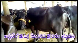 FOR SALE: gir cows 15 lit/day @40,000/- | india level supply