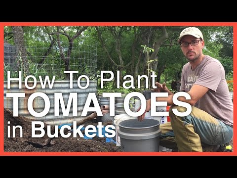How To Plant Tomatoes in Buckets