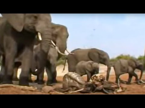 Elephants grieving - BBC wildlife