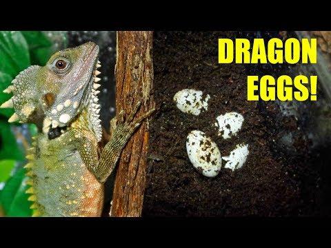 BOYDS FOREST DRAGON EGGS