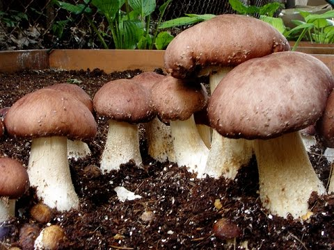 How To Grow Wine Cap Mushrooms King Stropharia Rugosoannulata  In A Raised Bed  (Pt.1)