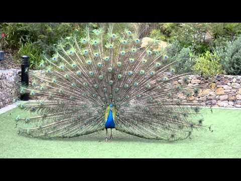 Peacock with open feathers