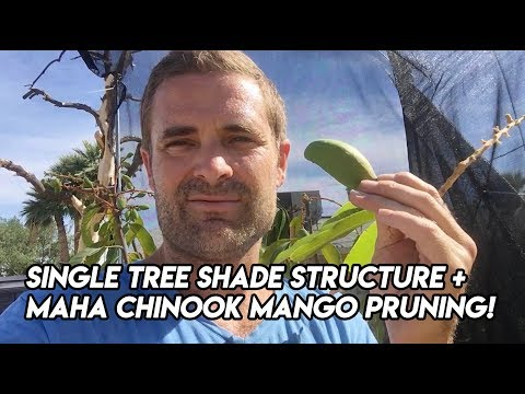 Ep166 - DIY Single Tree Shade Structure PLUS Maha Chinook Mango Pruning