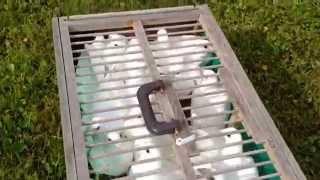 Witte postduif doffer / white racing pigeon Delbar - PakVim