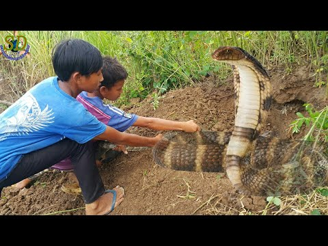 Braver boys Digging Giant Snake In The Hole || Hunting Snake In Rice Field