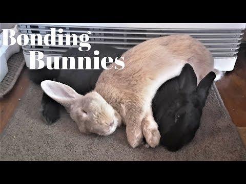 Bonding Rabbits, Tips For First Time Bunny Bonding