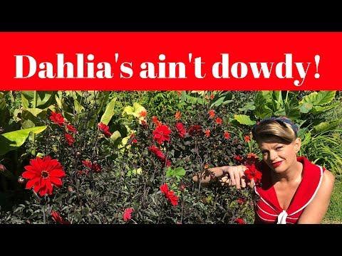 Dahlia's Ain't Dowdy // How to grow dahlias // The Gardenettes