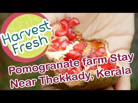 Harvest Fresh Organic Pomegranate Farm in LowerCamp Near Thekkady