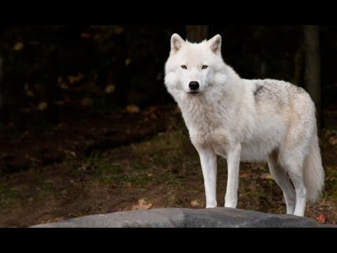 Wolf spirit animal meaning